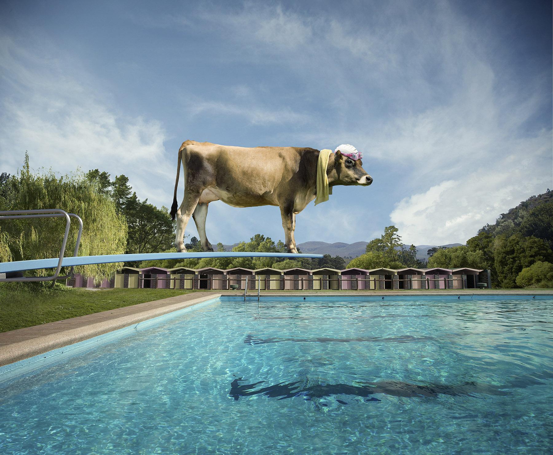 Cow_Diving_Board6sh