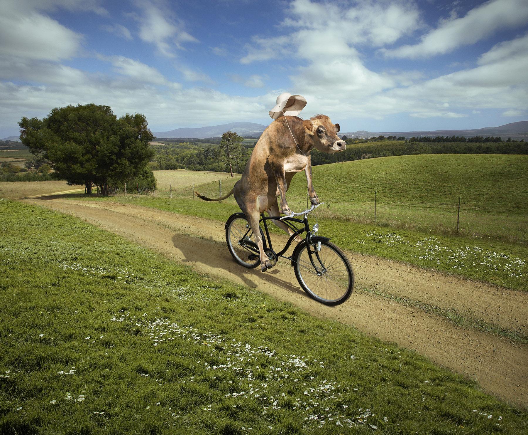 Cow_On_Bike_6sh